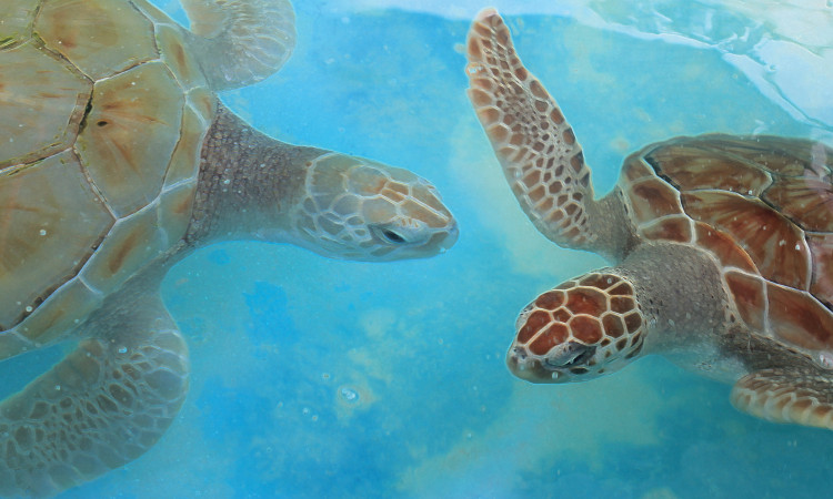 Danza de las Tortugas - Dancing Turtles of the Caribbean Oceans - Original underwater photos by Marcy Ann VIllafana