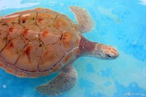 Heaven is the Sea. Turtles of the Caribbean - El cielo es el mar -Original underwater photos by Marcy Ann Villafana